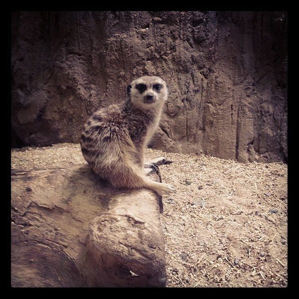 """How can I guarantee that meerkats lower your blood pressure? <a href=""""http://instagram.com/p/VwfWOkl0xL/"""">Because my kids and"""