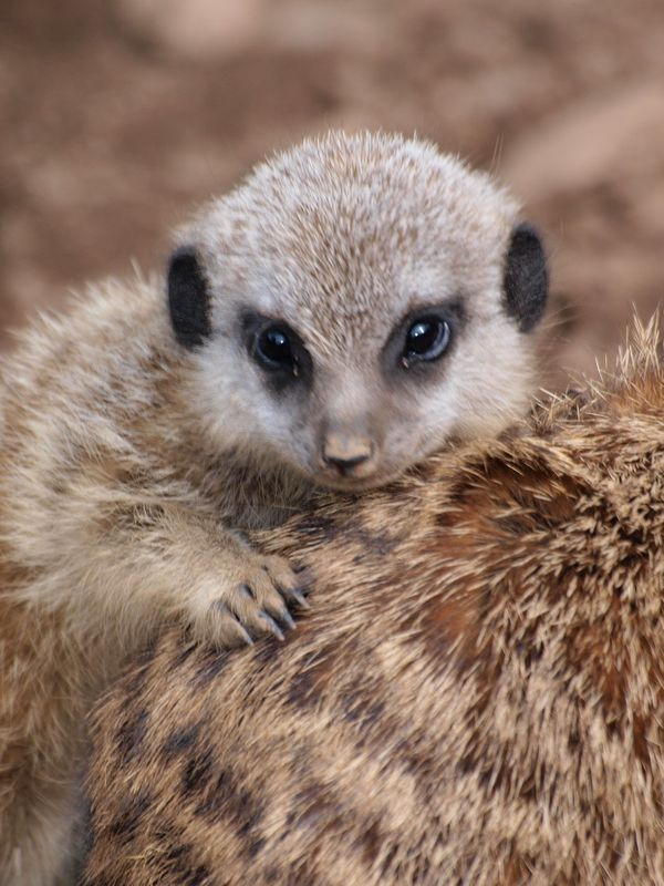 Meerkats babysit each other's offspring. And sometimes a meerkat that has not had a baby will lactate to feed another's young
