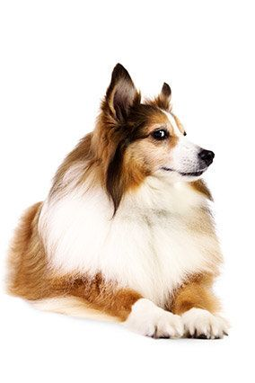 """12, Shetland Sheepdog   His owner says: """"He's Mr. Social with riders on the early morning bus, but come 9 P.M., it's bedtime."""