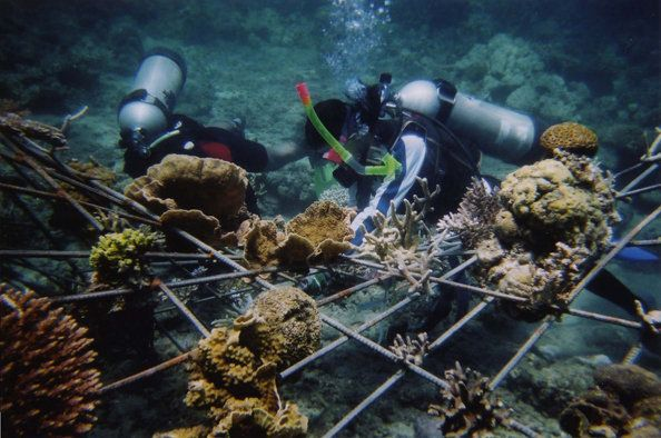 "Divers transplant corals onto""Manta"" in  2004."