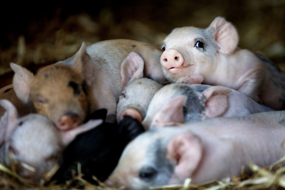Emma's story involves 13 tiny piglets and one big miracle.
