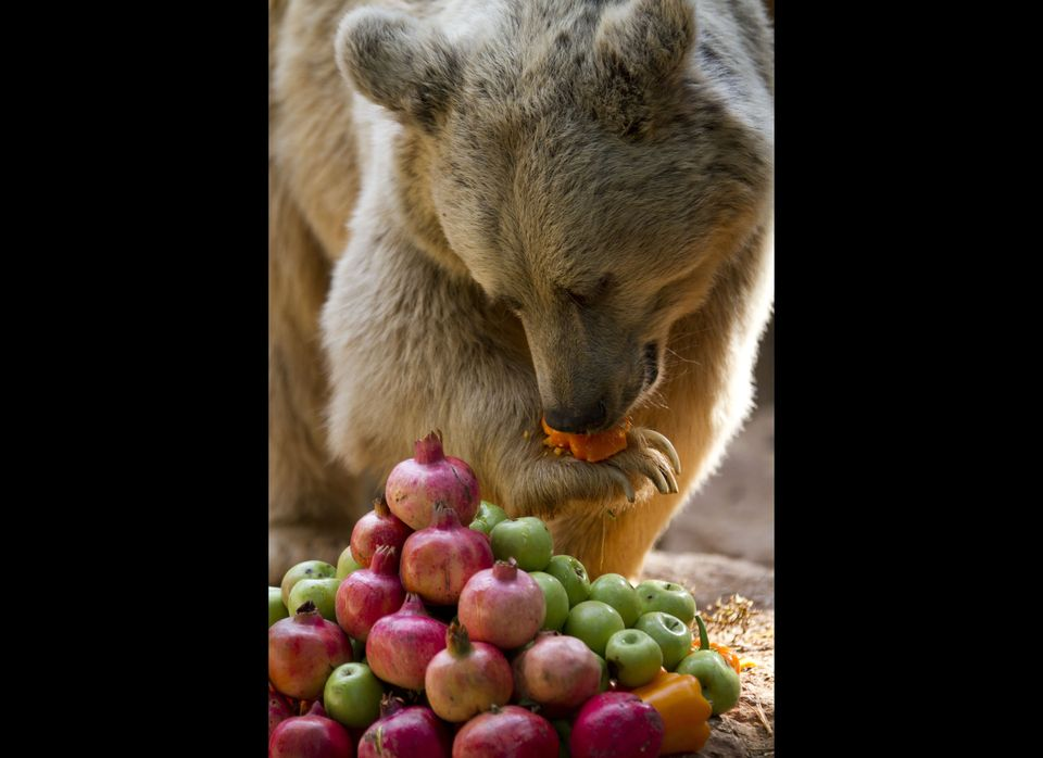 A Syrian Brown bear licks honey off a fruit at the Ramat Gan Safari park outside Tel Aviv, Israel, Thursday, Sept. 13, 2012.