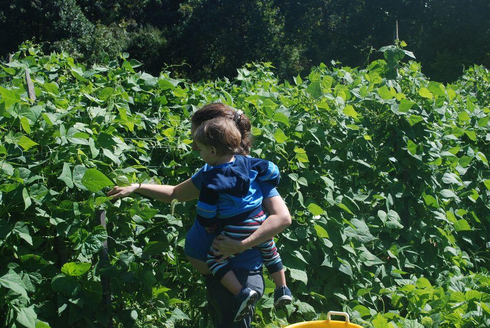Bean picking