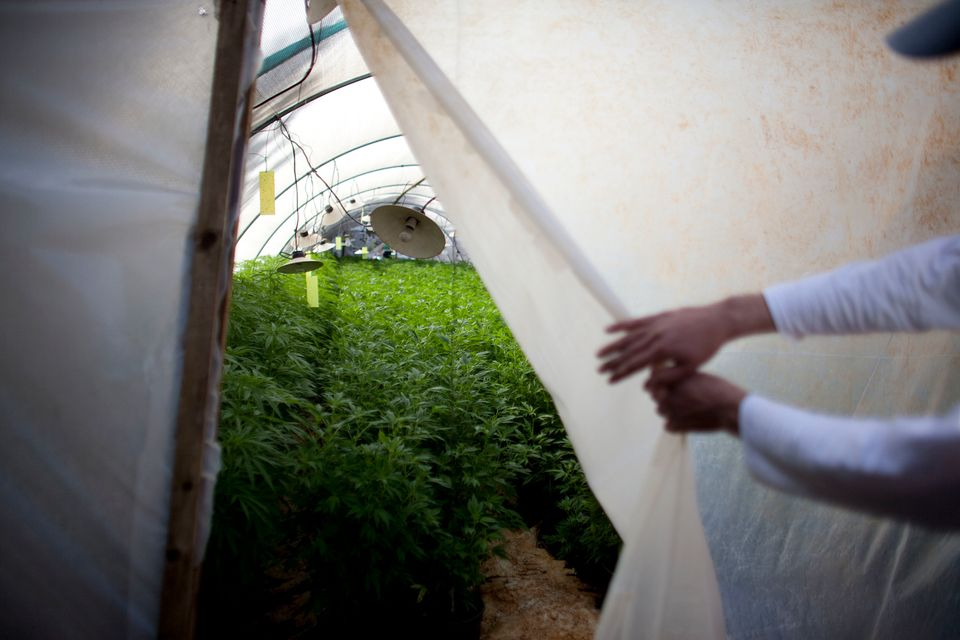 A worker at a cannabis greenhouse at the growing facility of the Tikun Olam company on March 7, 2011 near the northern city o