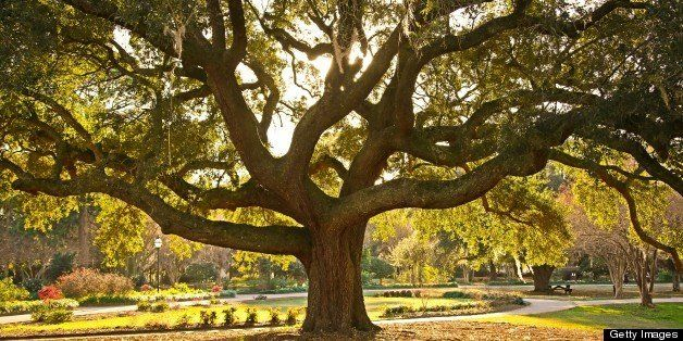 Beautiful mature Live Oak tree. Hampton Park, Charleston, SC.