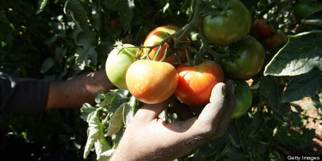 A Palestinian farmer picks his tomatoes at a farm in the West Bank town of Hebron, 29 August 2007. For a Palestinian farmer l