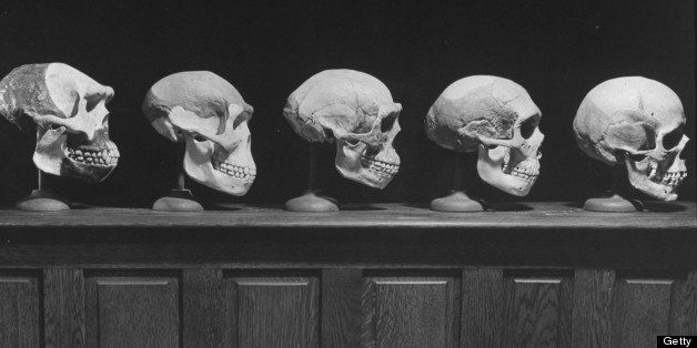 A display of skulls demonstrating human evolution.  (Photo by Fritz Goro//Time Life Pictures/Getty Images)