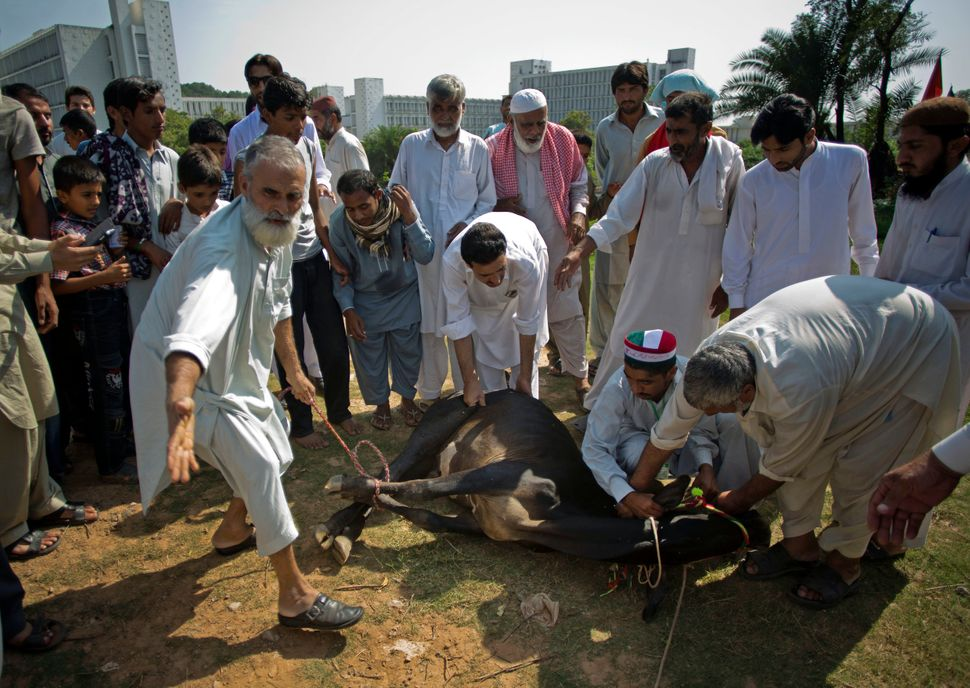 "Supporters of Pakistani Muslim cleric Tahir-ul-Qadri get ready to slaughter a cow on the occasion of the Eid al-Adha, or ""Fea"
