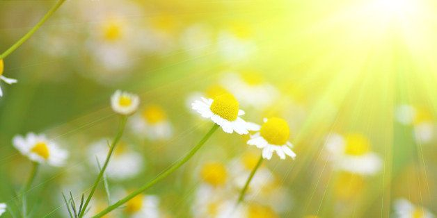 set of daisys in fresh green grass and sunlight