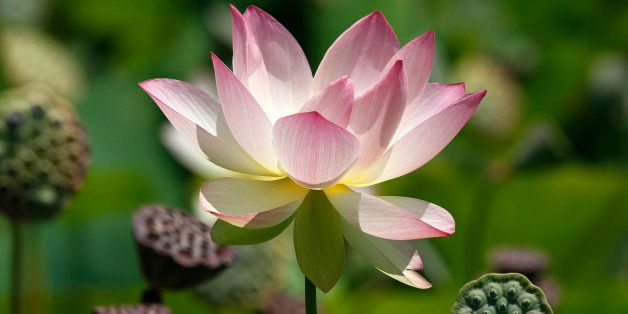A lotus flower reaches full bloom at the newly restored lotus beds at Echo Park in Los Angeles on Tuesday, July 15, 2014. (AP