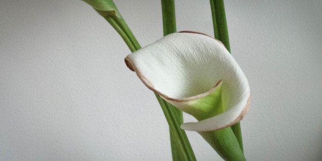 Graceful white calla lily (zantedeschia aethiopica) in a vase.