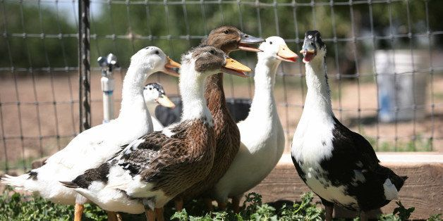 TO GO WITH AFP STORY US-LIFESTYLE-GASTRONOMY-ANIMALS-ETHICS-LAW BY MICHAEL THURSTON The last remaining ducks of Artisan Sono