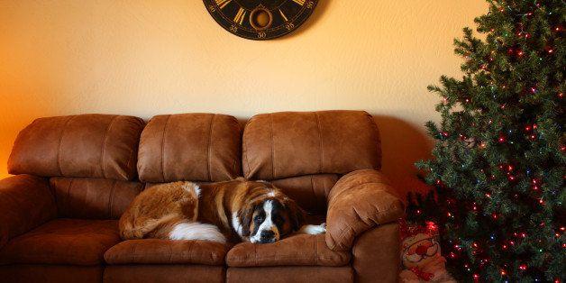 St. Bernard dog on sofa next to Christmas tree.