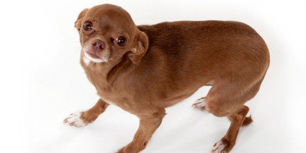 A timid brown Chihuahua looking up at the camera with a white background