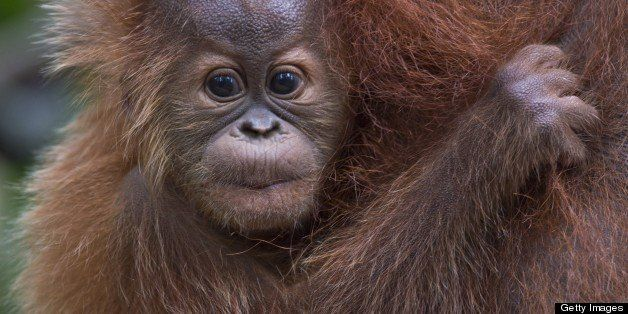 TO GO WITH AFP STORY INDONESIA-ENVIRONMENT-CONSERVATION-SPECIES-ORANGUTAN BY ANGELA DEWAN In this photograph taken on April 1