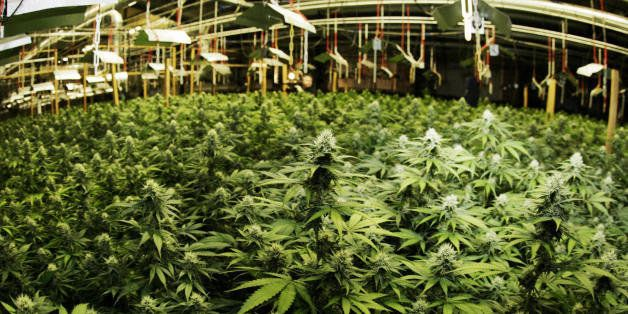 The marijuana plants found by police in a warehouse in the western German town of Rodgau are pictured 24 August 2007. 8000 ha