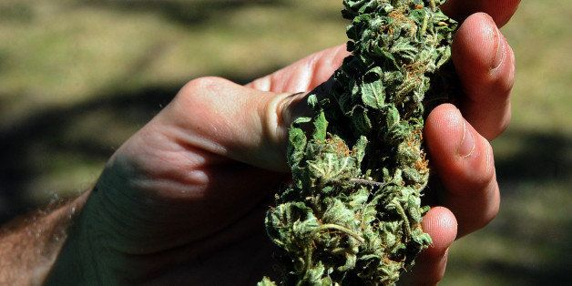 Sebastian Romero (24) shows a flower of a Cannabis sativa (marijuana) plant in El Pinar, 36 km east of Montevideo, on Novembe