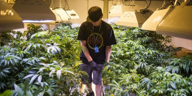 DENVER, CO - AUGUST 13:  Steve Herin, Master Grower at Incredibles, works on repotting marijuana plants in the grow facility