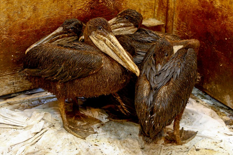 Brown pelicans were already a threatened species when the BP oil spill occurred. After the spill, nearly one thousand were co