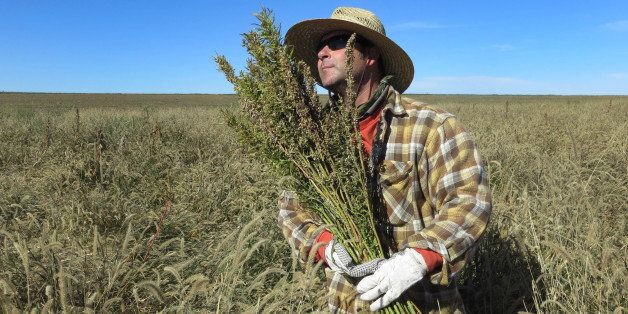 In this Oct. 5, 2013 photo, Derek Cross, a chef who specializes in cooking with hemp, helps harvest the plant in Springfield,