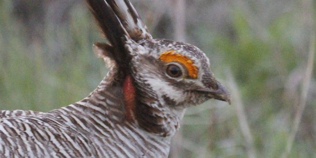 A male lesser prairie chicken is seen in Edwards County, Kan., April 18, 2012. The federal government designates the lesser p