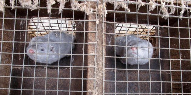 In this Feb. 12, 2013 photo two minks in cages at Bob Zimbal's fur farm in Sheboygan Falls, Wis. The U.S. fur industry has be