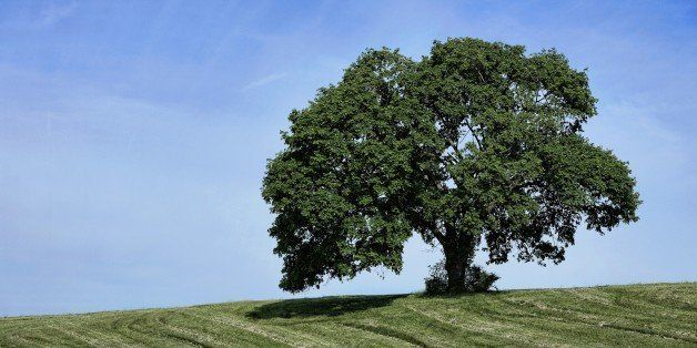 NEWTOWN SQUARE, PENNSYLVANIA, UNITED STATES - 2014/05/20: Lone mature tree on rural farm hill. (Photo by John Greim/LightRock
