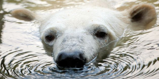 Young polar bear Wolodja swims in his compound in the Tierpark in locality Friedrichsfelde in Berlin, Germany, 23 August 2013