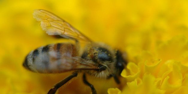 Honeybee on a marigold flower.
