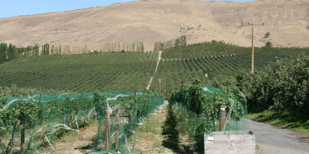 The Windy Point Vineyards in Wapato, Yakima River Valley.