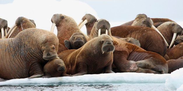 This July 17, 2012 photo released by the U.S. Geological Survey shows adult female walruses on an ice flow with young walruse