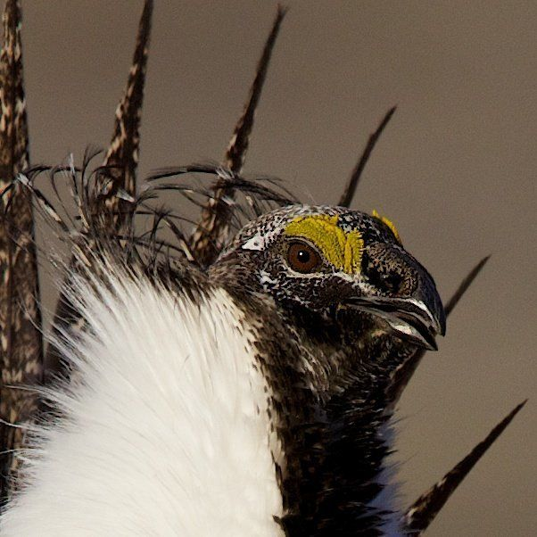 Close-up of male sage-grouse.