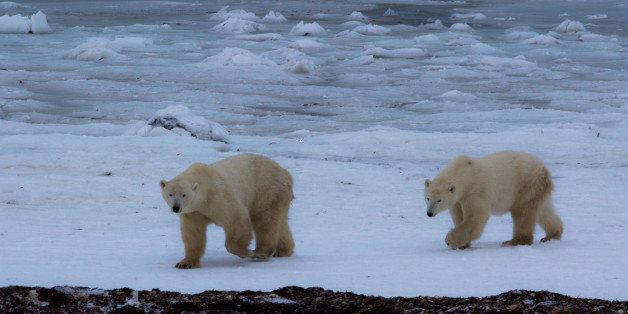 Located along the shores of Hudson Bay, Churchill serves as a central gathering point for both Humans and Polar Bears alike.