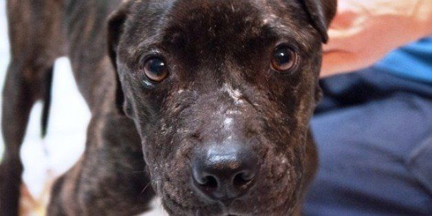 Pit Bulls Deserve Breed-Specific Protection | HuffPost