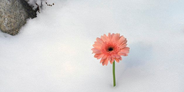 Gerber daisy blooming in snow