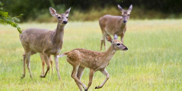 The white-tailed deer (Odocoileus virginianus), also known as the Virginia deer or simply as the whitetail, is a medium-sized