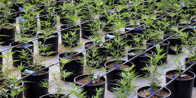 Marijuana plants grow in a greenhouse at the Los Suenos Farms facility in Avondale, Colorado, U.S., on Thursday, Feb. 25, 201