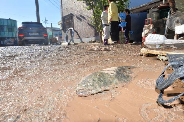 7일 태풍 콩레이가 쏟아부은 물폭탄에 침수 피해를 당한 경북 영덕군 강구면 강구 전통시장 인근 도로에 물고기가 흙탕물에 나뒹굴고