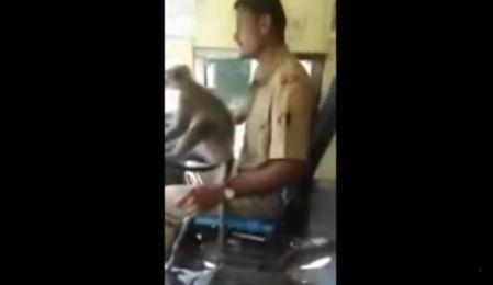 Indien: Busfahrer verliert seinen Job, weil er einen Affen ans Lenkrad
