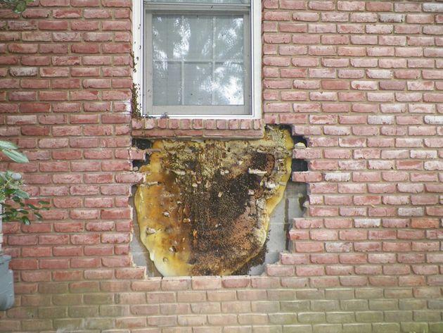 벌집 제거 전문가가 어느 집의 벽 속에서 엄청난 크기의 벌집을