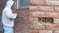 꿀벌 전문가가 어느 집의 벽에서 엄청난 크기의 벌집을