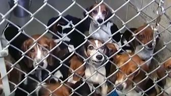 Seventy-one beagles were removed from a home in Pennsylvania and are now being cared for at the Lehigh County Humane Society