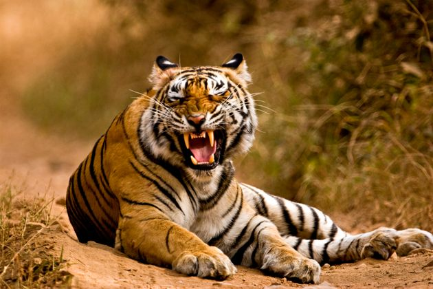 Οι ινδικές αρχές κυνηγούν θηλυκή τίγρη που σκοτώνει ανθρώπους με δόλωμα...ανδρική