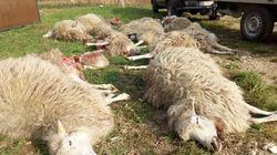Blutbad in Sachsen: Wölfe richten Massaker