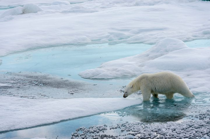 A polar bear in Svalbard, Norway. Polar bears, which rely on pack ice to hunt, face the prospect of having no Arctic sea ice