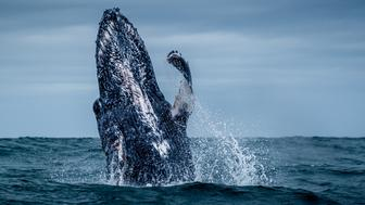 PORT ELIZABETH, SOUTH AFRICA - MARCH 15: The young humpback whale jumps up into the air, on March 15, 2015, in Port Elizabeth, South Africa.  A MAJESTIC whale leaps out of the ocean as it tragically searches for its mother The enormous calf spent two hours continually breaching  but tourists soon began to understand the devastating reason why. The young humpback whale, which was spotted on the southern tip of South Africa between Port Elizabeth and Port Alfred, was clearly in distress. He had been separated from his mother and breached more than 100 times in two hours as he searched the vast Indian Ocean. The large and energetic movement serves as a communication to other animals above and below the sea and the sound travels well in water.  PHOTOGRAPH BY Silke Schimpf / Barcroft Media (Photo credit should read Silke Schimpf / Barcroft Media via Getty Images)