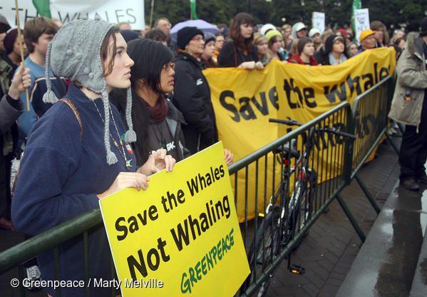 그린피스 지지자들은 의회에서 포경 반대 집회를 열고 시민들의 서명을 전달했습니다. 이 청원에 5만 3000명의 뉴질랜드 시민들이 서명했으며, 전 세계 고래들의 미래를 지켜 달라고 정부에 요청했습니다.