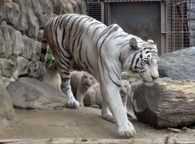 일본 한 동물원의 백호. 이 동물원은 아니지만, 가고시마현 동물원에서 8일 사육사가 우리에서 백호에 공격당해