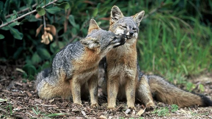 Island foxes are one of the few animals to be removed from the endangered species list. Critics say the low recovery rate und