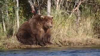 A shaggy, brown and possibly pregnant mother bear known as 409 Beadnose, crowned on Tuesday as Fattest Bear of 2018, is seen on the bank of Brooks River in Katmai National Park and Preserve, Alaska, U.S., September 30, 2018. Picture taken on September 30, 2018.   Courtesy NPS/Handout via REUTERS  ATTENTION EDITORS - THIS IMAGE HAS BEEN SUPPLIED BY A THIRD PARTY.
